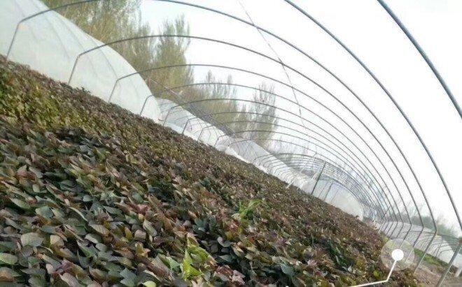 2021年红薯苗价格多少钱一棵